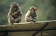 Front View Art - Rhesus Monkeys At Concession Area by Raymond Gehman