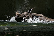 One Horned Rhino Photo Prints - Rhino Bath Print by Sarah Soward