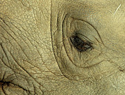 Rhinoceros Photo Posters - Rhino Eye Poster by Marc Bittan