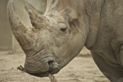 Rhinoceros Photo Posters - Rhino Poster by Michael Peychich