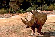 Rhino Print by Steve Karol