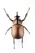 One Horned Rhino Prints - Rhinoceros Beetle Print by Lawrence Lawry