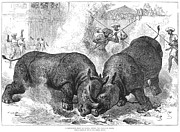 Indian Rhinoceros Posters - Rhinoceros Fight, 1875 Poster by Granger