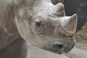 Close-up Portrait Posters - Rhinoceros Poster by Tom Mc Nemar