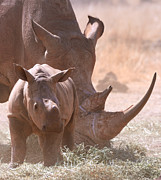 Rhinoceros Framed Prints - Rhinoceros With Calf Framed Print by Photo by Martin Heigan.