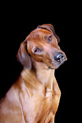Dogs Digital Art Metal Prints - Rhodesian Ridgeback Metal Print by Julie L Hoddinott
