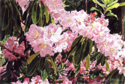 Beautiful Flowering Trees Posters - Rhodo Grove Poster by David Lloyd Glover