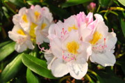 Rhododendron Print by Catherine Reusch  Daley