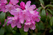 Rhododendron Photos - Rhododendron by Dawn OConnor