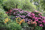Green Foliage Prints - Rhododendron Hill Print by Carol Groenen