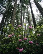 Howell Posters - Rhododendrons and Redwoods Poster by Michael Howell - Printscapes