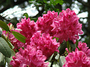 Recent Posters - Rhododendrons Garden art prints Pink Rhodies Floral Poster by Baslee Troutman Photography Art Prints