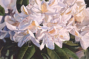 White Flowers Paintings - Rhody in the Morning Sun by Sharon Freeman