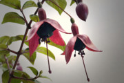 Stamen Originals - Rhythmical Fuchsias. by Terence Davis