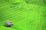 Shack Framed Prints - Rice field terraces Framed Print by MotHaiBaPhoto Prints