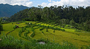 Village Life Framed Prints - Rice Fields In Agricultural Bali Framed Print by Brooke Whatnall