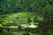 Rice Digital Art Prints - Rice Paddies Print by Steve Harrington