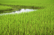 Siem Reap Metal Prints - Rice Paddy Field in Siem Reap Cambodia Metal Print by Julia Hiebaum