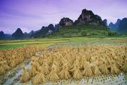 Travel China Posters - Rice, Yangshuo, Guangxi, China Poster by Bilderbuch