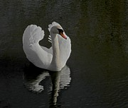 White On Black Prints - Ride A White Swan Print by Odd Jeppesen