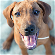 Mouth Photo Posters - Ridgeback Puppy Poster by Maarten van de Voort Images & Photographs