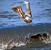 Seagul Prints - Riding The Wave  Print by Debra  Miller