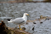 Larus Delawarensis Photos - Ring Bill by Joshua McCullough