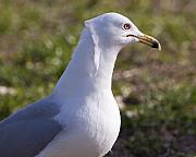 Larus Delawarensis Prints - Ring-billed Gull Print by Allan  Hughes