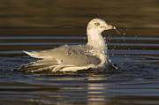 Larus Delawarensis Prints - Ring Billed Gull  In Breeding Plumage Print by Sebastian Kennerknecht