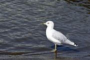 Black Ring Art - Ring-Billed Gull  by Teresa Zieba