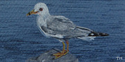 Gull Drawings Framed Prints - Ring-Billed Gull Framed Print by Tina McCurdy