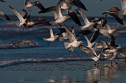 Shore Birds Photos - Ring-Billed Gulls at Kiawah Island by Melissa Wyatt