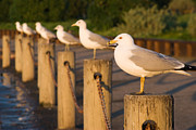 Larus Delawarensis Prints - Ring-Billed Gulls Print by Ei Katsumata