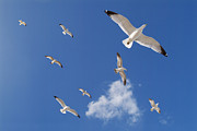 Flying Gull Posters - Ring Billed Gulls Overhead Poster by Patrick M Lynch