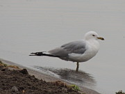 Wade Fishing Photos - Ring-Billed Sea Gull Larus delawarensis at Lake Cayuga State Park by JB Ronan