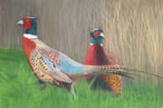 Pheasant Drawings Prints - Ring-necked Pheasants Print by Marlene Piccolin