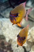 Two Tailed Photo Metal Prints - Ring-tailed Cardinal Fish Metal Print by Matthew Oldfield