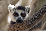 Lemur Catta Framed Prints - Ring-tailed Lemur Framed Print by Alexis Rosenfeld