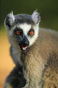 Lemur Catta Prints - Ring-tailed Lemur Calling Print by Cyril Ruoso