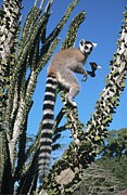 Thorny Desert Plant Posters - Ring-tailed Lemur Poster by Chris Hellier