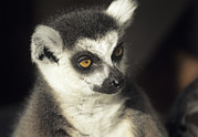 Lemur Catta Framed Prints - Ring-tailed Lemur Framed Print by David Aubrey