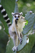 Lemuridae Prints - Ring-tailed Lemur Eating Opuntia Print by Cyril Ruoso