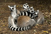 Huddled Framed Prints - Ring-tailed Lemur Family Framed Print by Peter Chadwick