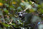 Lemur Catta Framed Prints - Ring-tailed Lemur In A Tree Framed Print by Alexis Rosenfeld