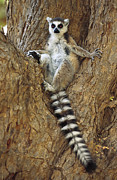 Berenty Framed Prints - Ring-tailed Lemur In A Tree Framed Print by Cyril Ruoso