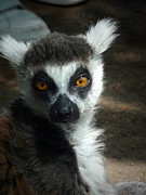Cognac Posters - Ring tailed Lemur Poster by Jan Willem Van Swigchem