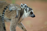 Two Tailed Photo Prints - Ring-tailed Lemur Lemur Catta Baby Print by Cyril Ruoso
