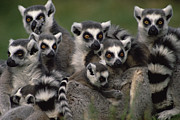 Primates Posters - Ring-tailed Lemur Lemur Catta Group Poster by Gerry Ellis