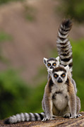 Two Tailed Photo Prints - Ring-tailed Lemur Lemur Catta Mother Print by Pete Oxford