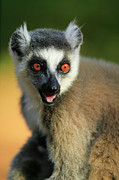 Lemur Catta Posters - Ring-tailed Lemur Lemur Catta Portrait Poster by Cyril Ruoso